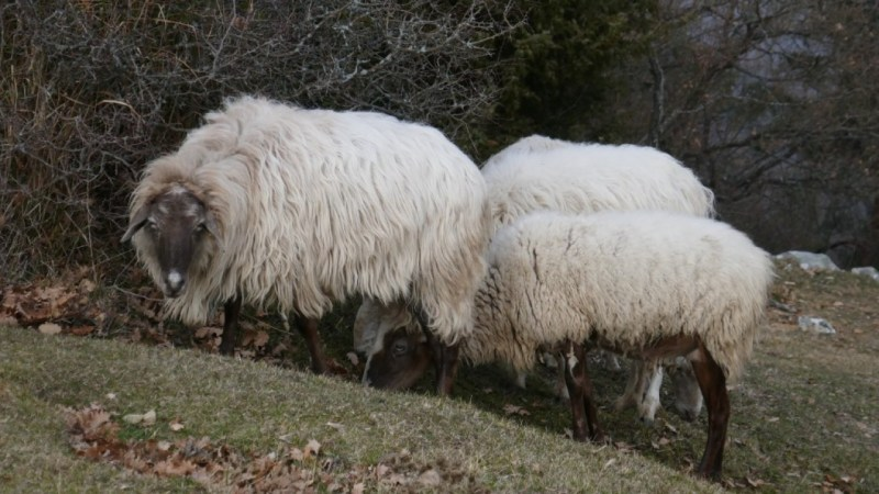 Moutons paisibles
